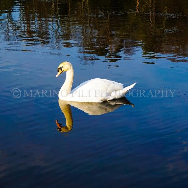 White swan reflection