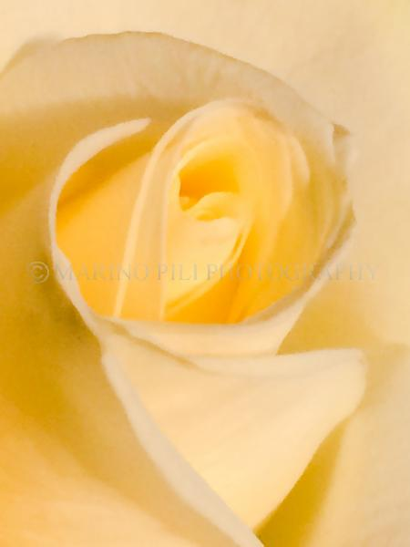 White and yellow rose in natural sunlight